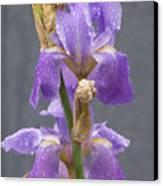 Iris Blooms In The Rain Canvas Print