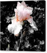 Iris Emergance Canvas Print