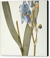 Iris Pallida Canvas Print by Pierre Joseph Redoute