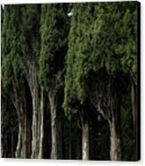 Italian Cypress Trees Line A Road Canvas Print