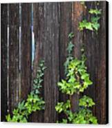 Ivy On Fence Canvas Print