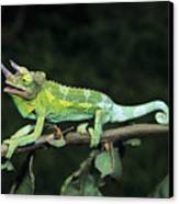 Jacksons Chameleon On Branch Canvas Print by Dave Fleetham - Printscapes