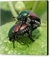 Japanese Beetles Mating Canvas Print