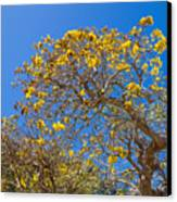 Jerusalem Thorn Tree Canvas Print