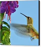Jeweled Rufous In Afternoon Light Canvas Print