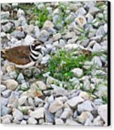 Killdeer 1 Canvas Print by Douglas Barnett