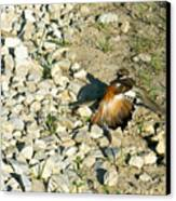 Killdeer Broken Wing Act Canvas Print by Douglas Barnett