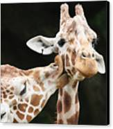 Kissing Giraffes Canvas Print by Buck Forester