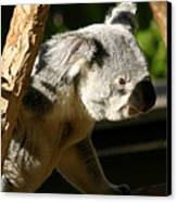 Koala Bear 2 Canvas Print by Anthony Jones