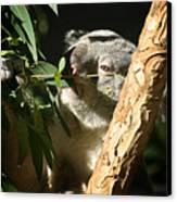 Koala Bear 3 Canvas Print