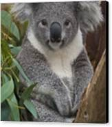 Koala Phascolarctos Cinereus Canvas Print by Zssd