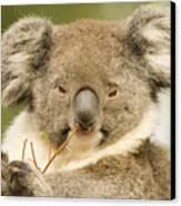 Koala Snack Canvas Print by Mike  Dawson