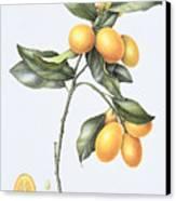 Kumquat Canvas Print by Margaret Ann Eden