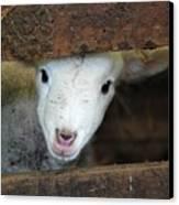 Lamb Canvas Print by Christy Majors