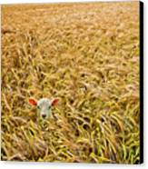 Lamb With Barley Canvas Print by Meirion Matthias