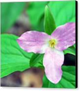 Large Flower Trillium Canvas Print