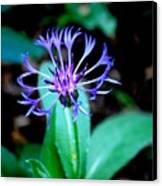 Last Flower In The Garden Canvas Print