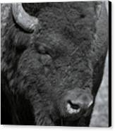Lazy Buffalo Canvas Print by Clinton Nelson