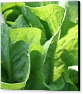 Leaf Lettuce Canvas Print