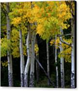 Leaning Aspen Canvas Print