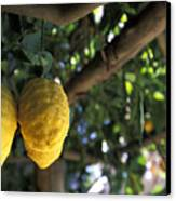 Lemons Hanging From A Lemon Tree Canvas Print by Richard Nowitz