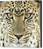 Leopard Panthera Pardus Female Canvas Print by Martin Van Lokven