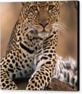 Leopard Panthera Pardus, Masai Mara Canvas Print by Anup Shah