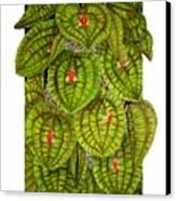 Lepanthes Calodictyon Canvas Print