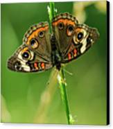 Lepidoptera Canvas Print by Charles Dobbs