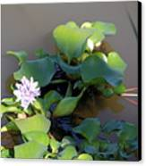 Lilly Pad On The River Canvas Print