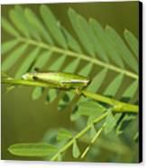 Linear Winged Grasshopper Canvas Print