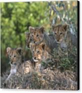 Lion Cubs Awaiting Mom Canvas Print by Sandra Bronstein