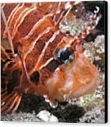 Lionfish Closeup Canvas Print by Gary Hughes