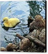 Little Ducky Canvas Print by Angelina Vick