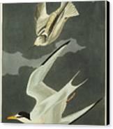 Little Tern Canvas Print by John James Audubon