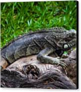 Lizard At The Zoo Canvas Print