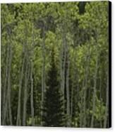 Lone Evergreen Amongst Aspen Trees Canvas Print by Raymond Gehman