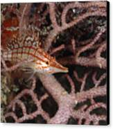 Longnose Hawkfish Hiding In Coral Canvas Print by James Forte