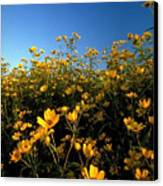 Lots Of Buttercups Against A Blue Sky Canvas Print