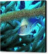 Lutjan Seaperch Hiding In Soft Coral Canvas Print by Sami Sarkis