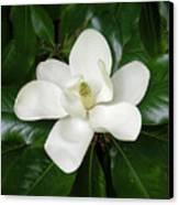 Magnolia Glorious Canvas Print