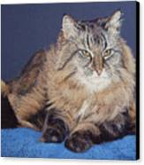 Maine Coon Kitty Canvas Print