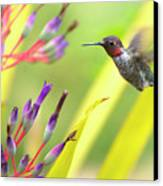 Male Anna's Hummingbird Canvas Print by Mike Herdering