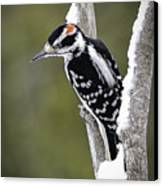 Male Hairy Woodpecker Canvas Print by LeeAnn McLaneGoetz McLaneGoetzStudioLLCcom