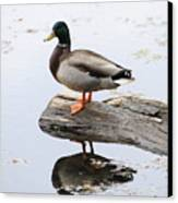 Male Mallard Duck With His Reflection Canvas Print