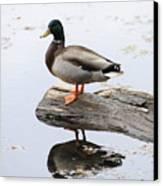 Male Mallard Duck With His Reflection Canvas Print by Darlyne A. Murawski