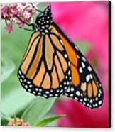 Male Monarch Canvas Print by Steve Augustin