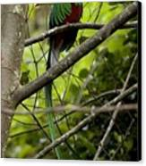 Male Resplendent Quetzal Canvas Print by Roy Toft