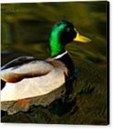 Mallard Green Canvas Print