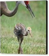 Mama And Juvenile Sandhill Crane Canvas Print by Carol Groenen